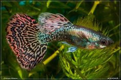 Platinum red mosaic Guppy