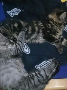 Maine Coon Katzer Spirit und seine Schwester Mystery als Kitten Maine Coon, Mystery, Cats, Animals, Maine Coon Cats, Arts And Crafts, World, Gatos, Animais