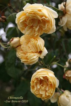 Noisette Rose 'Chromatella' Growth Habit: Shrub, may be grown as a climber Year Introduced: 1840 to 1849 Bloom Type: Fully Double Fragrance: Fragrance fff Rebloom: Rebloom rrr Hybridizer: Coquereau Height: 10-12 Feet Color: Light Yellow Class: Tea-Noisette Climbing: Grow As Shrub or Climber