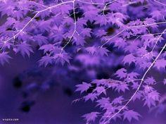 purplecolor001094v-i-pics