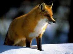 Raposa As raposas são animais mamíferos omnívoros pertencentes à família Canidae. São canídeos de porte médio, caracterizados por um focinho comprido e uma cauda longa e peluda.