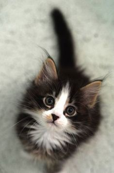 If you're looking for Free Maine Coon Kittens for adoption we've written some tips on how to find Free Maine Coon Cats and where to look for them. Kittens And Puppies, Cute Cats And Kittens, I Love Cats, Crazy Cats, Kittens Cutest, Fluffy Kittens, Fluffy Cat, Kittens Meowing, Persian Kittens