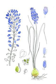 muscaris, aquarelle cécile hudrisier