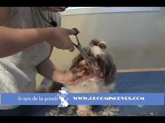 How To Groom A Shih Tzu-Trim The Dog's Face-Cut Around Eyes on Flat Face Dog