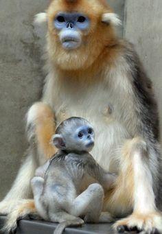 Golden Snub-Nosed Monkey | Golden Snub-Nosed Monkey & Baby
