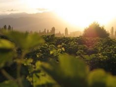Viñedo al atardecer / Vineyard at sunrise
