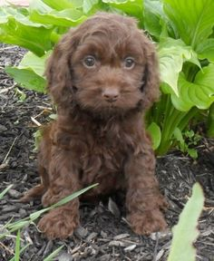Tiny Toy Cockapoo Puppies For Sale Dogs! Pinterest