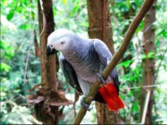 20160801: Stop à l'exploitation illégale en #RDC : l'ICCN réintroduit dans la nature une centaine de perroquets gris interceptés