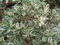 Variegated jade plant