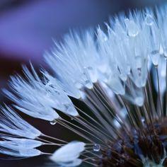 Dandelion Macro - Nice Shot !