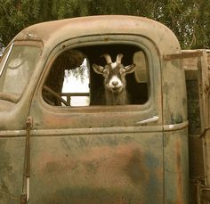 Truck Driving Goat Signed 8x8 digital archival by QuirkyCreatures, $35.00