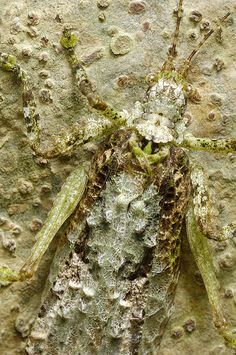 Camouflage - Lichen mimic orthopteran
