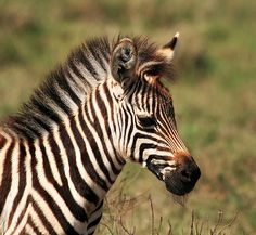 baby zebra in tanzania by peo pea on flickr