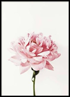 Flowers Garden Photography Peonies New Ideas Poster It, Foto Poster, Art Floral, Deco Floral, Floral Design, Pink Peonies, Pink Flowers, Pink Roses, Bouquet Flowers