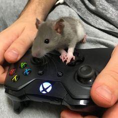 My gamer rat