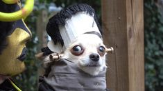 Looking for the perfect costume for your pup? Keep scrolling through these 30 dogs dressed in costumes for some seriously cute inspiration. Large Dog Costumes, Halloween Party Costumes, Halloween 2018, Costume Ideas, Funny Animal Pictures, Funny Animals, Cute Animals, Frankenstein, Chihuahua Puppies