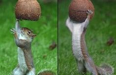 this squirrel are playing coco balls