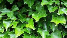 9 Different Types of Ivy (Pictures + Facts) | Trees.com Types Of Ivy, English Ivy Plant, Boston Ivy, Evergreen Vines, Ivy Plants, Best Indoor Plants, Different Types, Green Flowers, House Plants