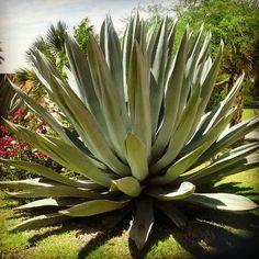 Maguey en Hacienda Sepúlveda, en Lagos de Moreno #Jalisco
