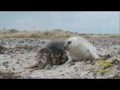 Stock Footage - Süße Robbenbabys trotzen der eisigen Kälte (grey seal)