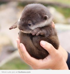 Look at the tiny little otter!! It's on my list of animals I desperately want if I ever have a menagerie...