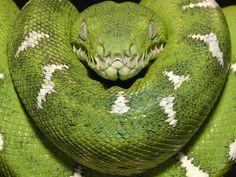 In Amazonia, you might even stumble upon an Emerald Boa. Eek!