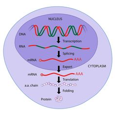 Illustration about Central dogma of molecular biology, Illustration of illustration, medicine, cell - 25474172 Cell Biology, Ap Biology, Science Biology, Science Education, Physical Science, Earth Science, Biology Review, Biology Lessons, Dna E Rna