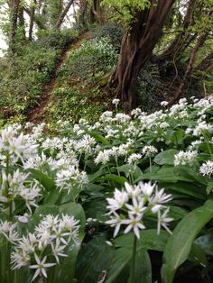 Wild garlic in the foreground and a bank covered in primroses behind in our woods, just a few minutes walk from our holiday carriages in St Germans, Cornwall Wild Garlic, Primroses, Holiday Accommodation, Cornwall, Acre, Woodland, Woods, Plants, Mornings
