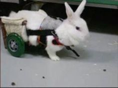 Bunny Wheelchair, warms my <3