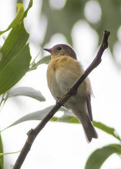 Mugimaki Flycatcher(Ficedula mugimaki)