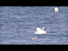 A pin by www. Nature Gif, Nature Videos, Cygnus Olor, The Outsiders, Birds, Animals, Youtube, Natural, Animaux