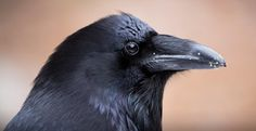 Ravens and The Raven — Connie Myres
