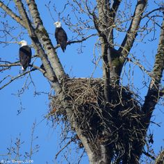 Bald Eagles on Sauvie Island