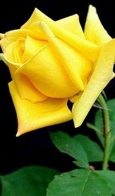 Hybrid tea roses – Famous Last Words