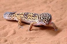 Another one of Justin's pets . . Leopard gecko.