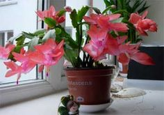 Christmas Cactus - How To Grow, Care For And Make Schlumbergera Bloom The Christmas cactus blooming - No other plant seems to be equal it for its odd beauty or the number of questions from frustrated owners. Christmas Cactus Plant, Easter Cactus, Cactus Flower, Flower Bookey, Flower Film, Flower Pots, Orchid Cactus, Cacti And Succulents, Cactus Plants