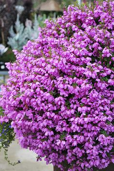 Tetratheca Fairy Bells African Plants, Landscaping, Fairy, Australia, Flowers, Yard Landscaping, Landscape Architecture, Royal Icing Flowers, Flower