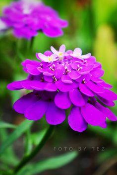 beautiful purple flower by Tez