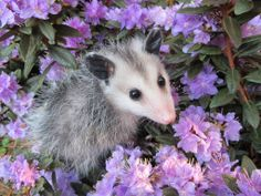 A young opossum in an azalea bush. Baby Animals, Funny Animals, Cute Animals, Cute Creatures, Beautiful Creatures, Post Animal, Opossum, Little Critter, Walking In Nature