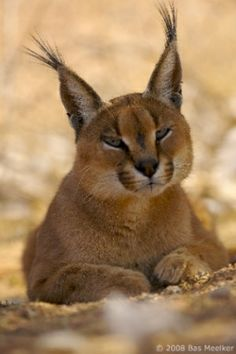 Caracal by dolly