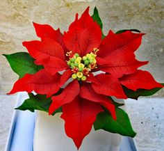 The Poinsettia always congures up the image of Christmas but this gorgeous flower can suit many other occasions as well. In todays language of