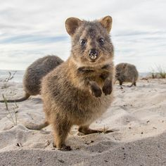 Fun day Monday. It's #HappyQuokkaMonday! and these little animals will turn any situation into a smiling moment. I was on Rottnest Island hanging out with them for only four days last year. But now have a project in mind to go back in a few months to spend a lot more time on the island. Watch this space. #natgeowildhd #Quokka #nakedplanet #instaquokka