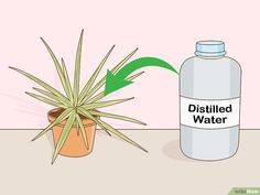 How to Care for a Madagascar Dragon Tree. The Madagascar dragon tree, or Dracaena marginata, is a reliable and low-maintenance indoor plant. If you live in a warm area with extremely mild winters, you can also keep this colorful tree. Madagascar Dragon Tree, Low Maintenance Indoor Plants, Old Trees, Prim Christmas, Colorful Trees, Winter Trees, Scandinavian Christmas, Sympathy Cards, Fused Glass