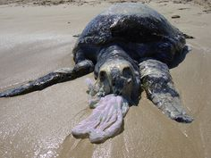 This turtle died due to trying to eat a plastic bag.