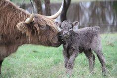 New born - little highland calf! www.ennerdalehighalnds.com