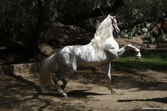 Andalusians Want!!!