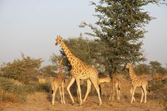 The Subspecies West African Giraffe Was Described In 1898 And Is Found Primarily Niger They Are Now Considered To Be Northern Spec