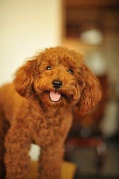 Apricot Toy Poodle & poodle ranks: Top 10 Smartest Dogs/ Top 10 Best Hypoallergenic Dog Breeds/ Top 10 Dogs for Kids Toy Poodle Chocolate Source by brandyknight The post Toy Poodle Chocolate appeared first on Hines Havanese. Dogs And Kids, I Love Dogs, Cute Dogs, Best Hypoallergenic Dogs, Smartest Dogs, Red Poodles, Small Dog Breeds, Dog Toys, Dog Lovers