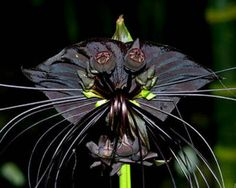 Black Bat flower Follow our unique garden themed boards at…                                                                                                                                                                                 Plus