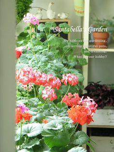 오랫동안 기다리셨습니다. 목빠지게 기다리신 분들께 심심한 사과의 말씀을 전하며,,, '산타벨라의 제라늄 ... Hobbies, Garden, Plants, Garten, Flora, Plant, Lawn And Garden, Outdoor, Tuin